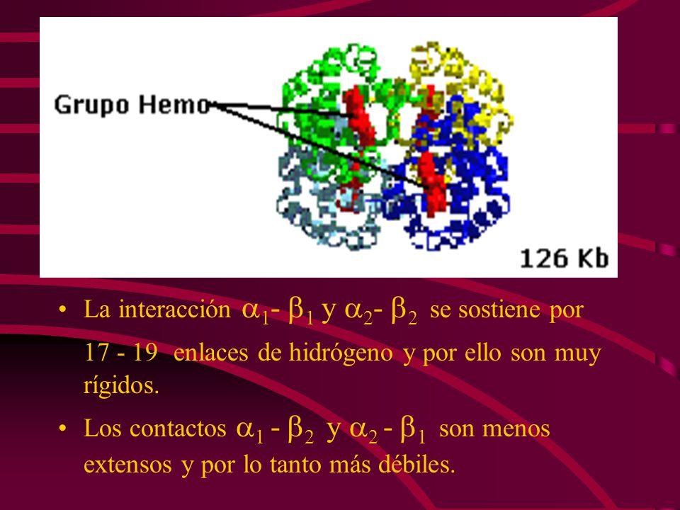 La interacción 1 - 1 y 2 - 2 se sostiene por 17 - 19 enlaces de hidrógeno y por ello son muy rígidos. Los contactos 1 - 2 y 2 - 1 son menos extensos y