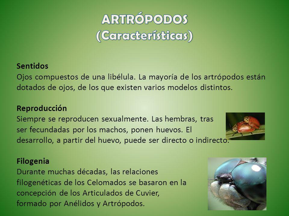 Sentidos Ojos compuestos de una libélula. La mayoría de los artrópodos están dotados de ojos, de los que existen varios modelos distintos. Reproducció