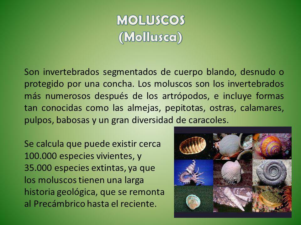 Son invertebrados segmentados de cuerpo blando, desnudo o protegido por una concha. Los moluscos son los invertebrados más numerosos después de los ar