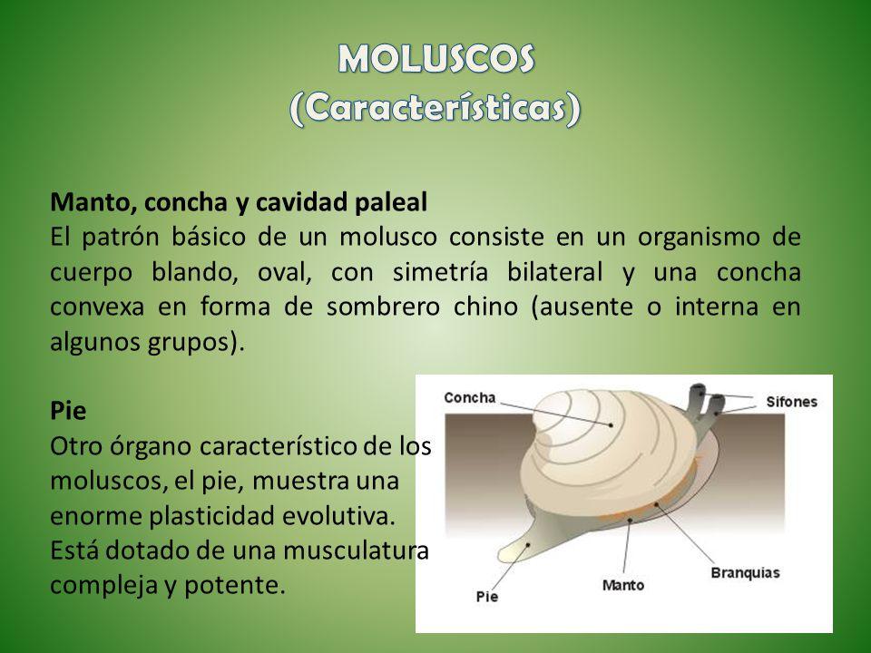 Manto, concha y cavidad paleal El patrón básico de un molusco consiste en un organismo de cuerpo blando, oval, con simetría bilateral y una concha con