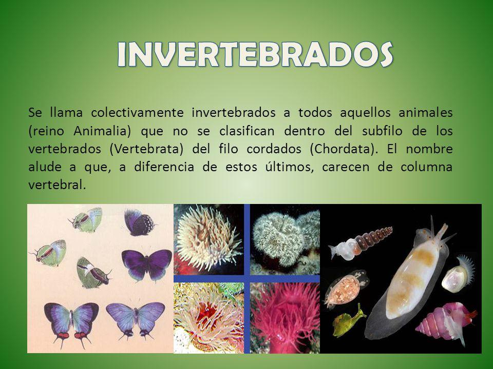 Se llama colectivamente invertebrados a todos aquellos animales (reino Animalia) que no se clasifican dentro del subfilo de los vertebrados (Vertebrat