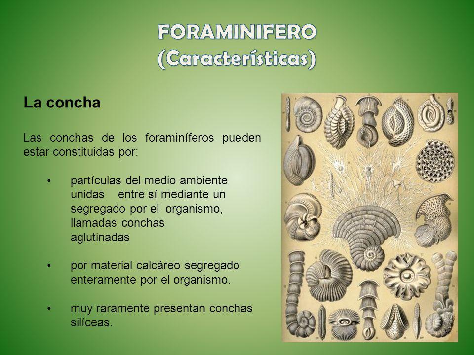 La concha Las conchas de los foraminíferos pueden estar constituidas por: partículas del medio ambiente unidas entre sí mediante un segregado por el o