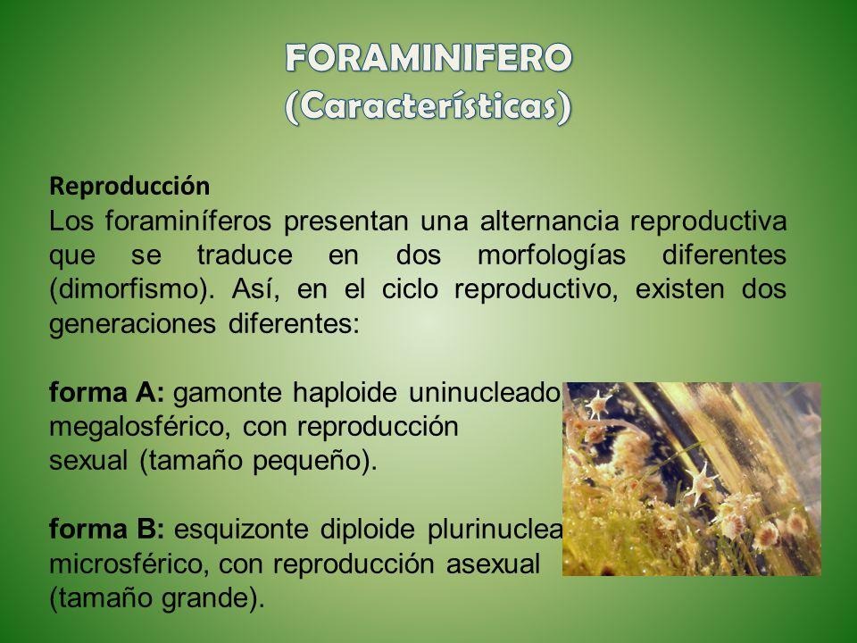 Reproducción Los foraminíferos presentan una alternancia reproductiva que se traduce en dos morfologías diferentes (dimorfismo). Así, en el ciclo repr