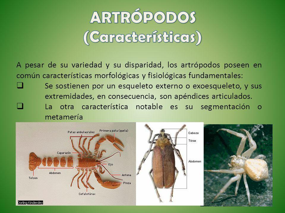 A pesar de su variedad y su disparidad, los artrópodos poseen en común características morfológicas y fisiológicas fundamentales: Se sostienen por un