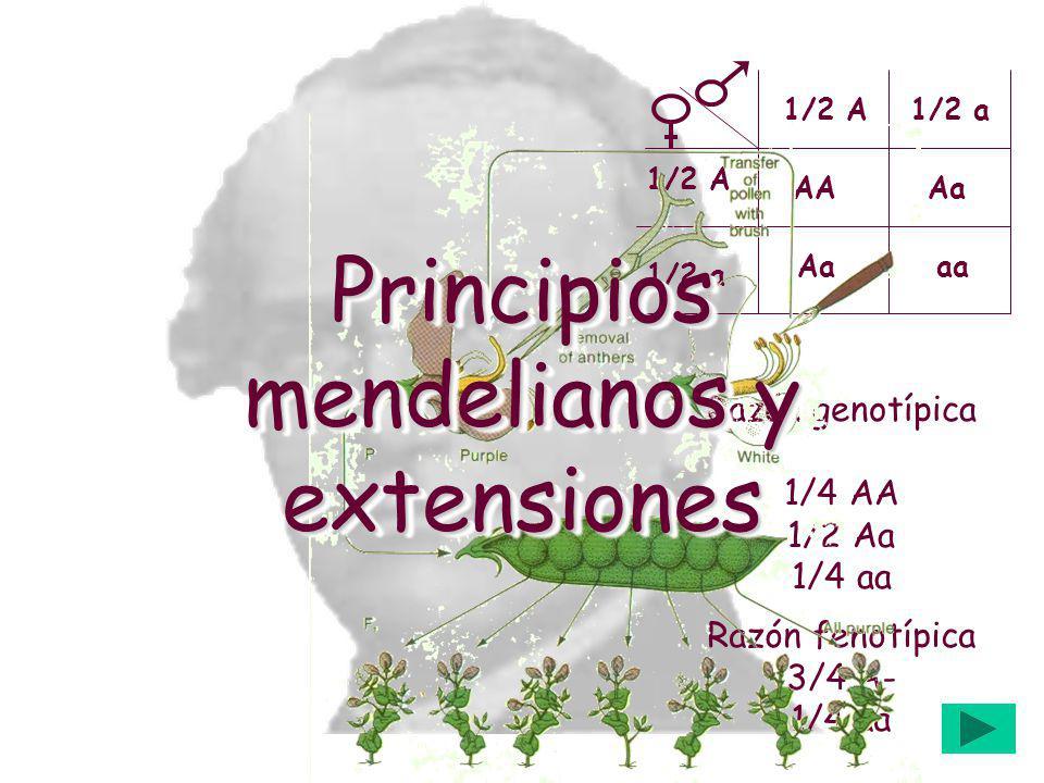 AAAa aa 1/2 A1/2 a 1/2 A 1/2 a Razón fenotípica 3/4 A- 1/4 aa Razón genotípica 1/4 AA 1/2 Aa 1/4 aa Principios mendelianos y extensiones