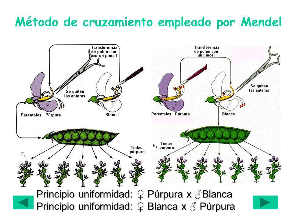 Método de cruzamiento empleado por Mendel Principio uniformidad: Púrpura x Blanca Principio uniformidad: Blanca x Púrpura