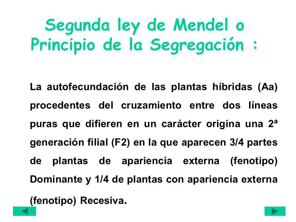 Segunda ley de Mendel o Principio de la Segregación : La autofecundación de las plantas híbridas (Aa) procedentes del cruzamiento entre dos líneas pur