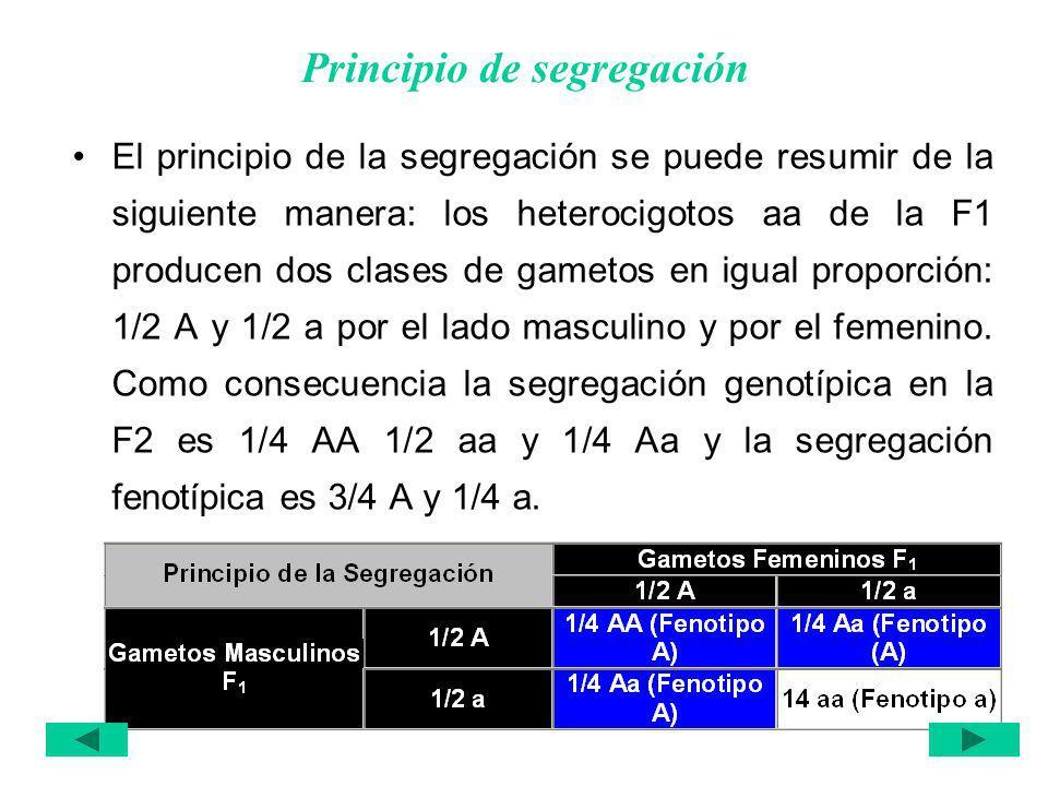 Principio de segregación El principio de la segregación se puede resumir de la siguiente manera: los heterocigotos aa de la F1 producen dos clases de gametos en igual proporción: 1/2 A y 1/2 a por el lado masculino y por el femenino.