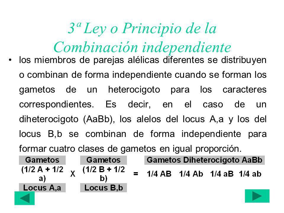 3ª Ley o Principio de la Combinación independiente los miembros de parejas alélicas diferentes se distribuyen o combinan de forma independiente cuando se forman los gametos de un heterocigoto para los caracteres correspondientes.