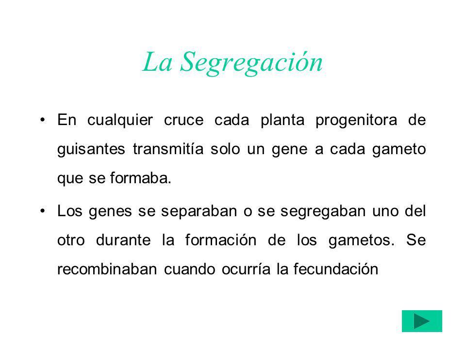 La Segregación En cualquier cruce cada planta progenitora de guisantes transmitía solo un gene a cada gameto que se formaba.