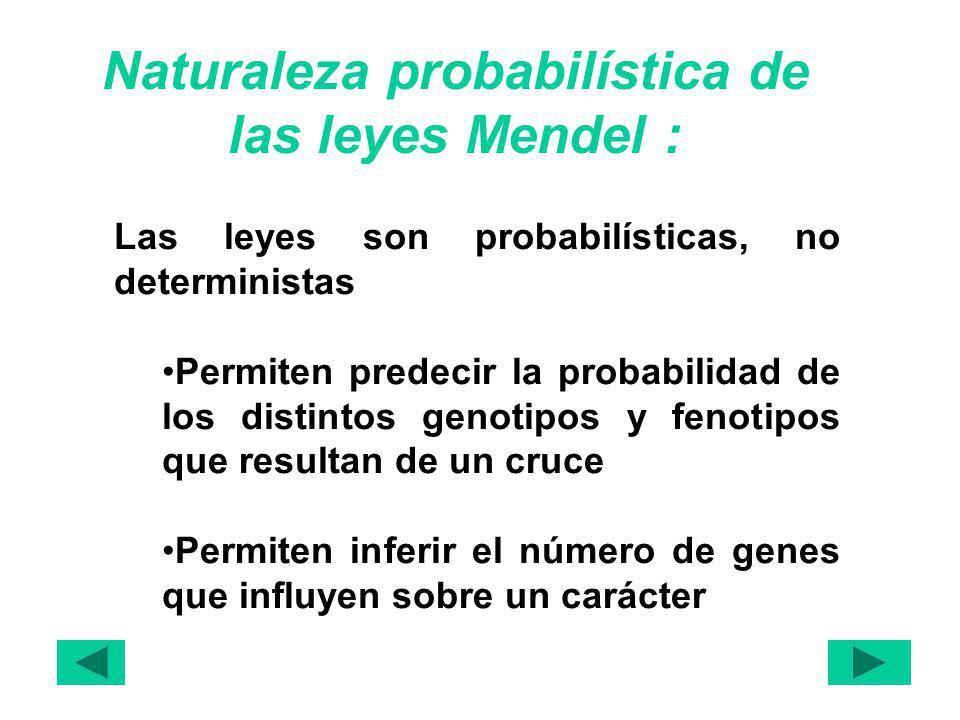 Naturaleza probabilística de las leyes Mendel : Las leyes son probabilísticas, no deterministas Permiten predecir la probabilidad de los distintos genotipos y fenotipos que resultan de un cruce Permiten inferir el número de genes que influyen sobre un carácter
