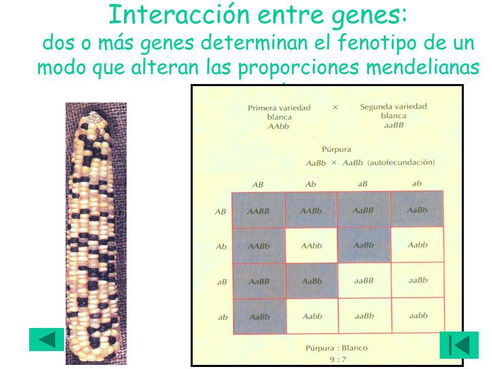 Interacción entre genes: dos o más genes determinan el fenotipo de un modo que alteran las proporciones mendelianas esperadas
