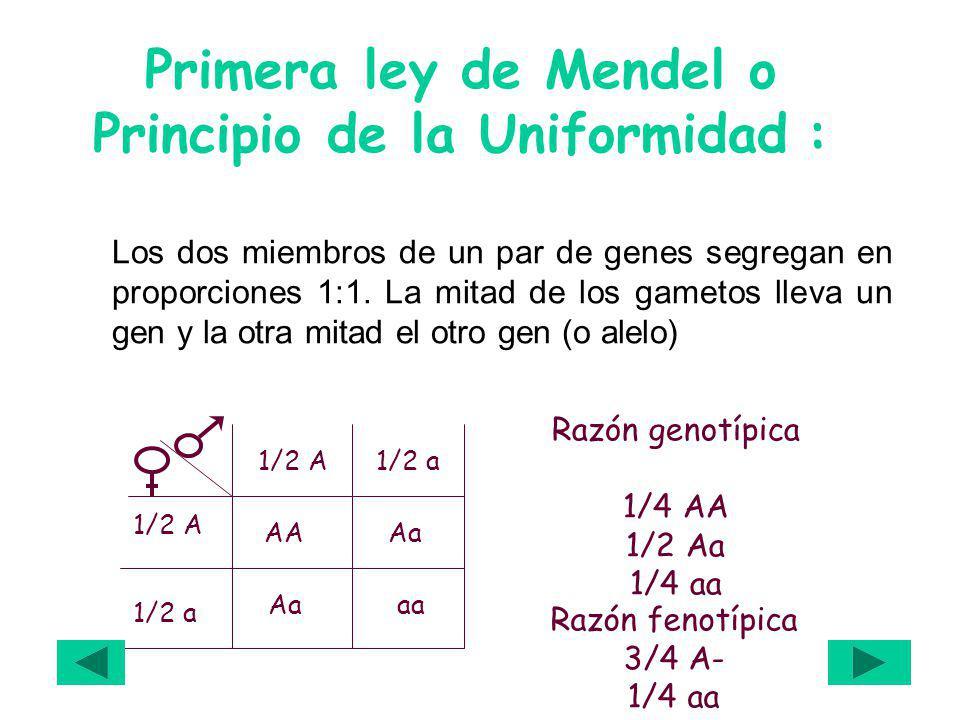 Primera ley de Mendel o Principio de la Uniformidad : Los dos miembros de un par de genes segregan en proporciones 1:1. La mitad de los gametos lleva