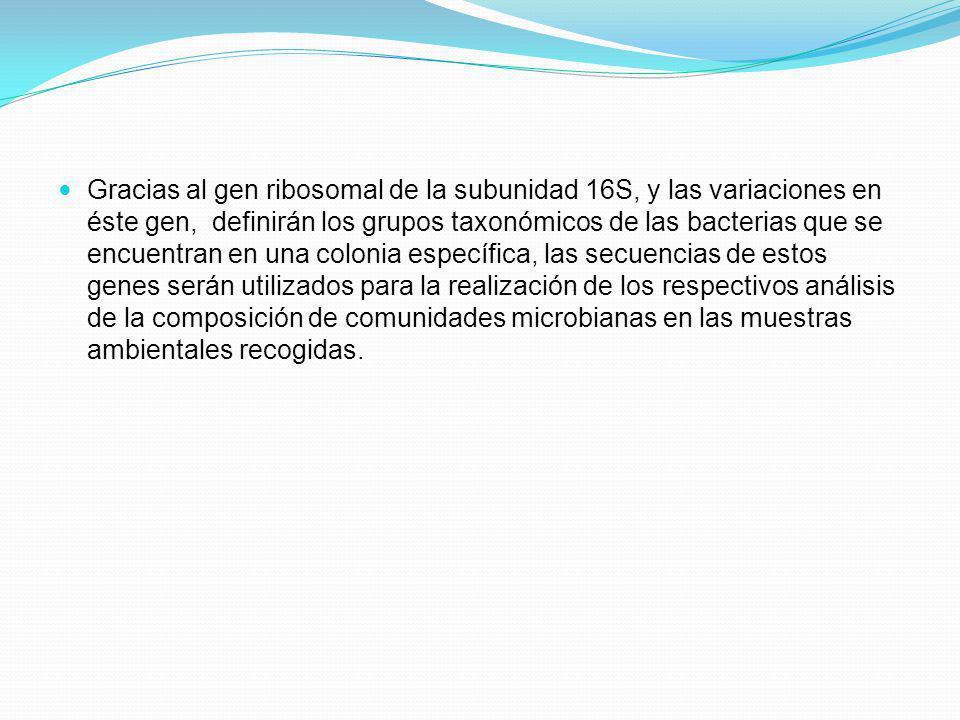 Gracias al gen ribosomal de la subunidad 16S, y las variaciones en éste gen, definirán los grupos taxonómicos de las bacterias que se encuentran en un