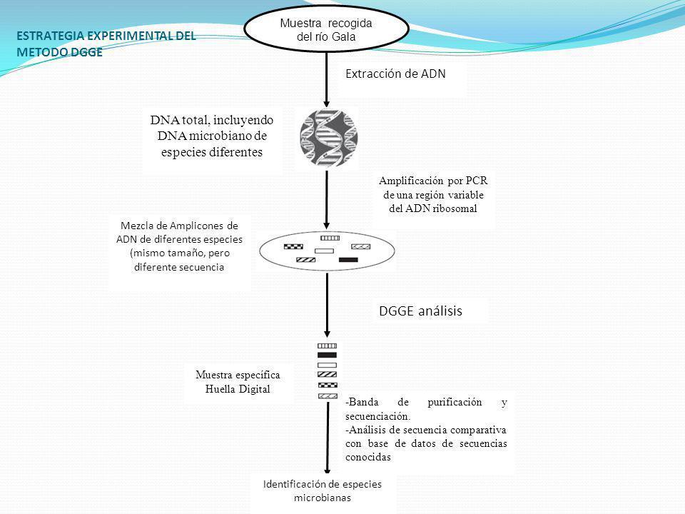 ESTRATEGIA EXPERIMENTAL DEL METODO DGGE Muestra recogida del río Gala Extracción de ADN DNA total, incluyendo DNA microbiano de especies diferentes Am