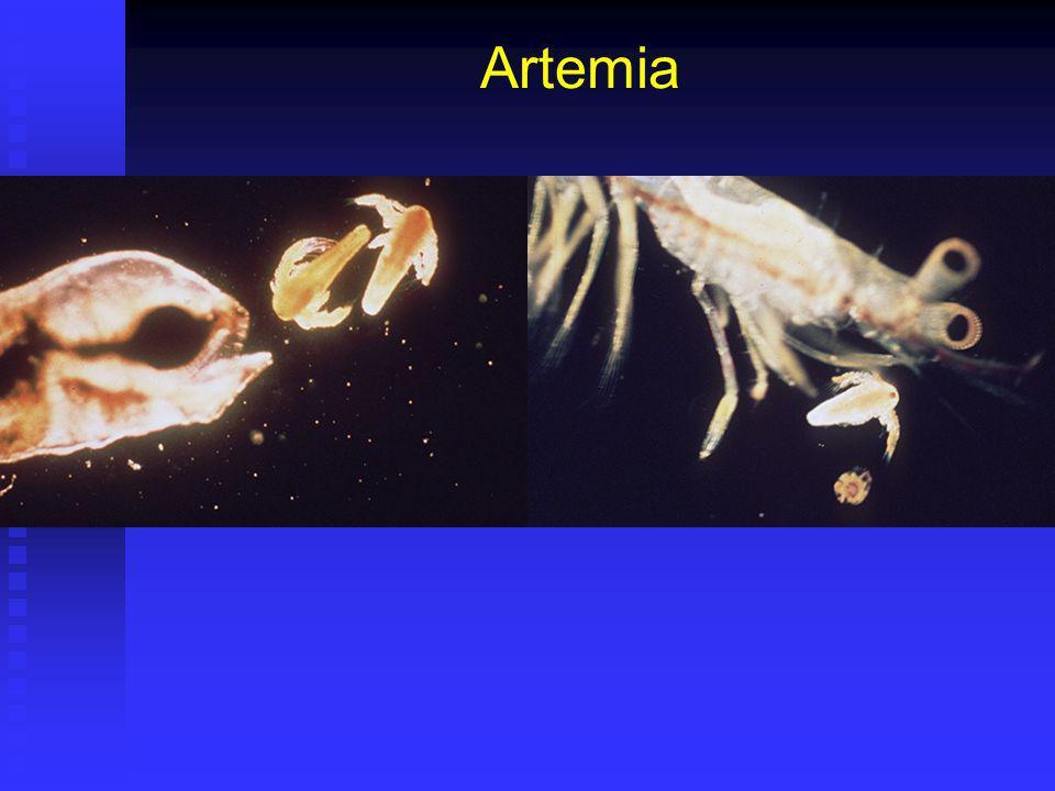 Artemia Principal alimento vivo utilizado en acuicultura. Principal alimento vivo utilizado en acuicultura. Ventajas: Ventajas: Facilidad almacenamien