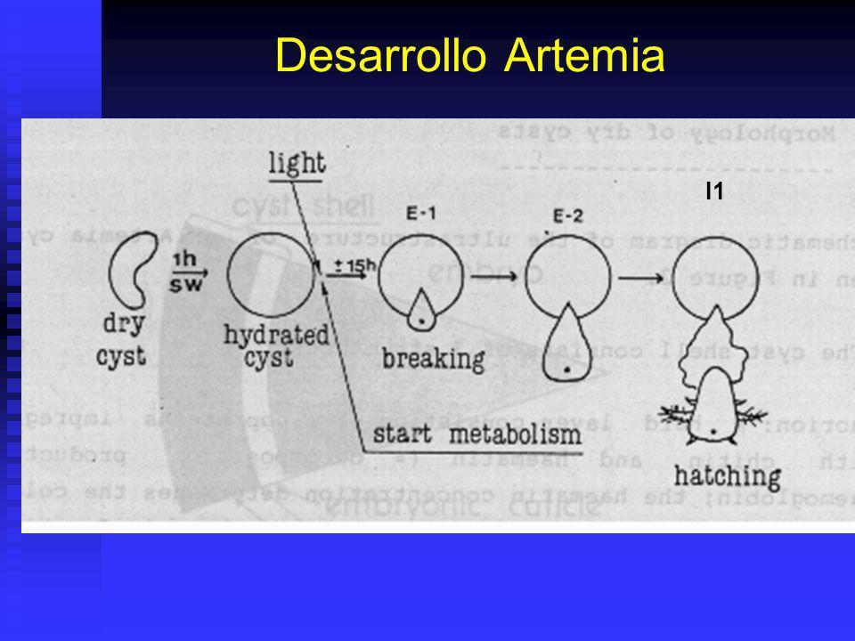 Taxonomia Artemia Artemia salina y otras ya no son válidas. Artemia salina y otras ya no son válidas. 1979: Artemia sp. (todas). 1979: Artemia sp. (to