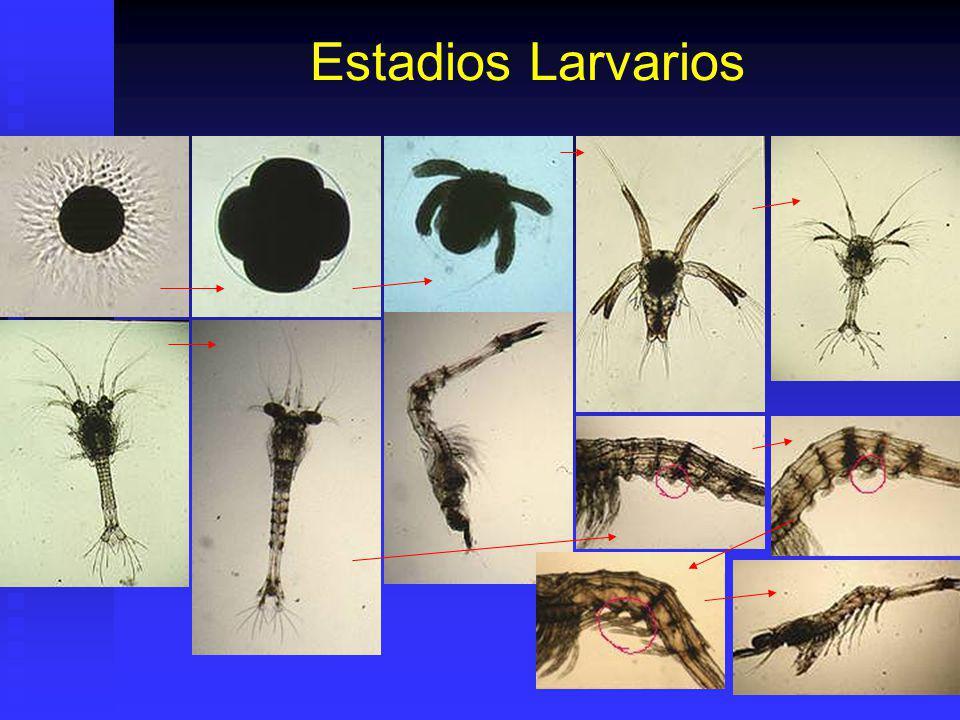 Desarrollo Artemia Cistos Secos (200- 300 ).Malla 100 Cistos Secos (200- 300 ).