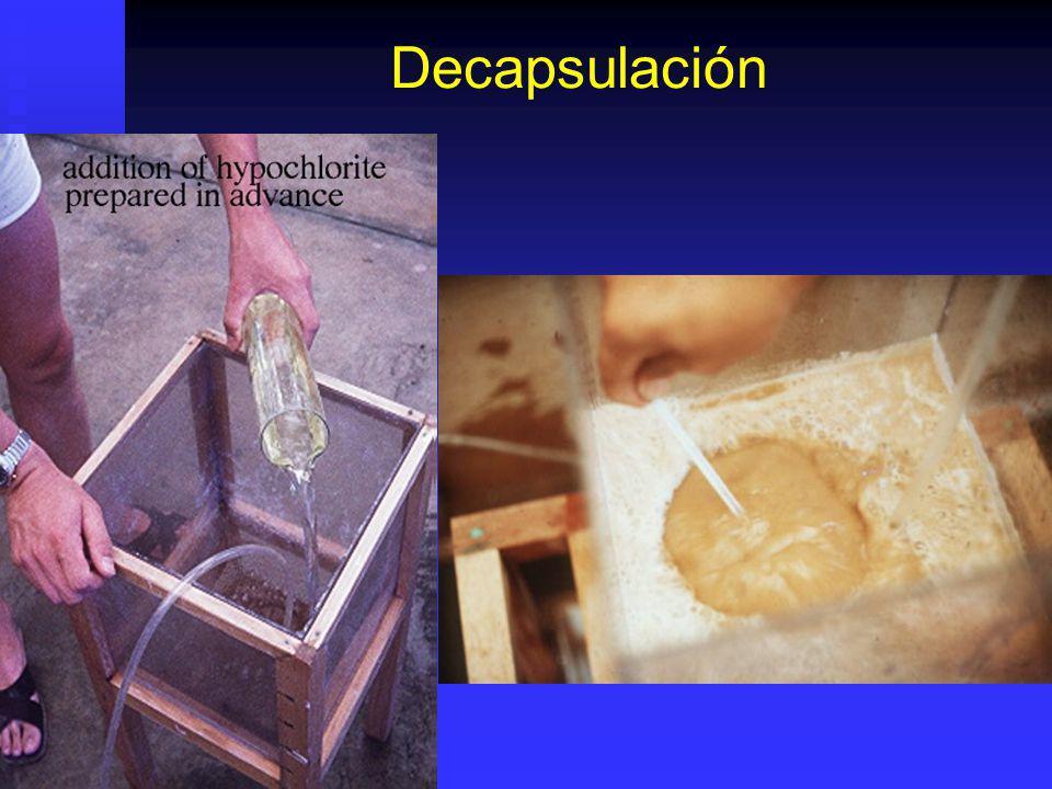 Trataminto Decapsulación Transferir cistos hidratados (sin agua) a balde / tanque y agregar solución decapsuladora. Transferir cistos hidratados (sin