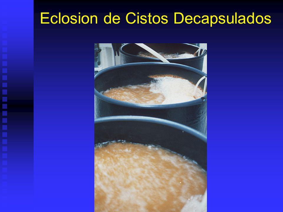 Uso Directo de Cistos Cistos decapsulados pueden ser puestos directamente a eclosionar. Cistos decapsulados pueden ser puestos directamente a eclosion