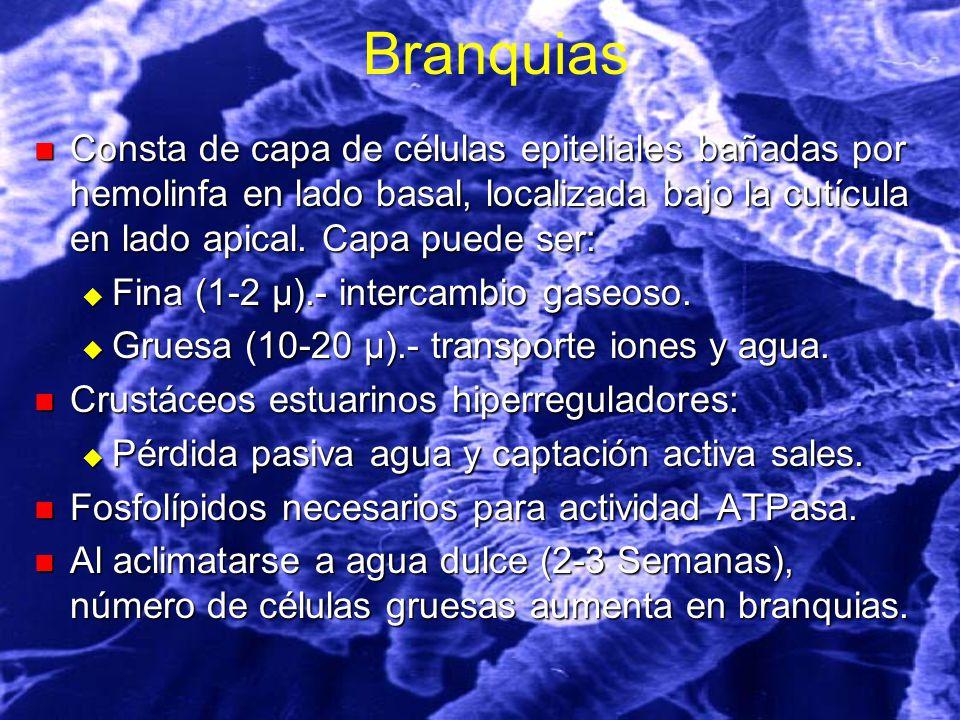 Branquias Consta de capa de células epiteliales bañadas por hemolinfa en lado basal, localizada bajo la cutícula en lado apical.