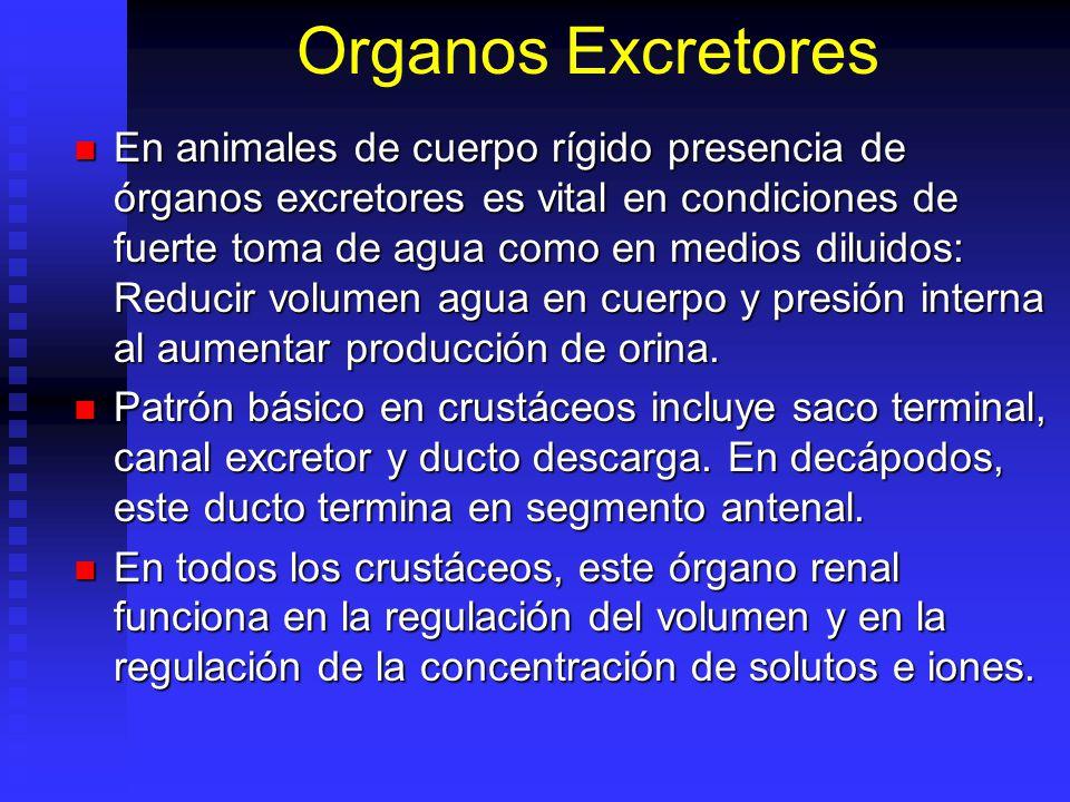 Organos Excretores En animales de cuerpo rígido presencia de órganos excretores es vital en condiciones de fuerte toma de agua como en medios diluidos: Reducir volumen agua en cuerpo y presión interna al aumentar producción de orina.