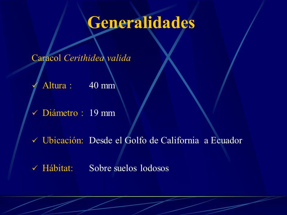 Caracol Cerithidea valida Altura :40 mm Diámetro :19 mm Ubicación:Desde el Golfo de California a Ecuador Hábitat:Sobre suelos lodosos Generalidades