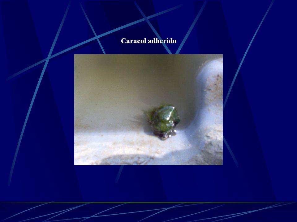 Generalidades Luego de 18 – 22 días de depositar los huevos, se observan arrastrándose sobre el sustrato y mediante metamorfosis convertirse en pequeños caracoles juveniles.