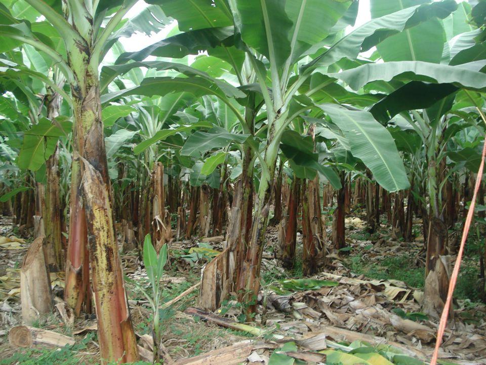 Guayaquil, noviembre de 2009 5 Diseño de un Sistema de Gestión y Control Operacional para una empresa de la Provincia de Manabí que se dedica a la producción de banano