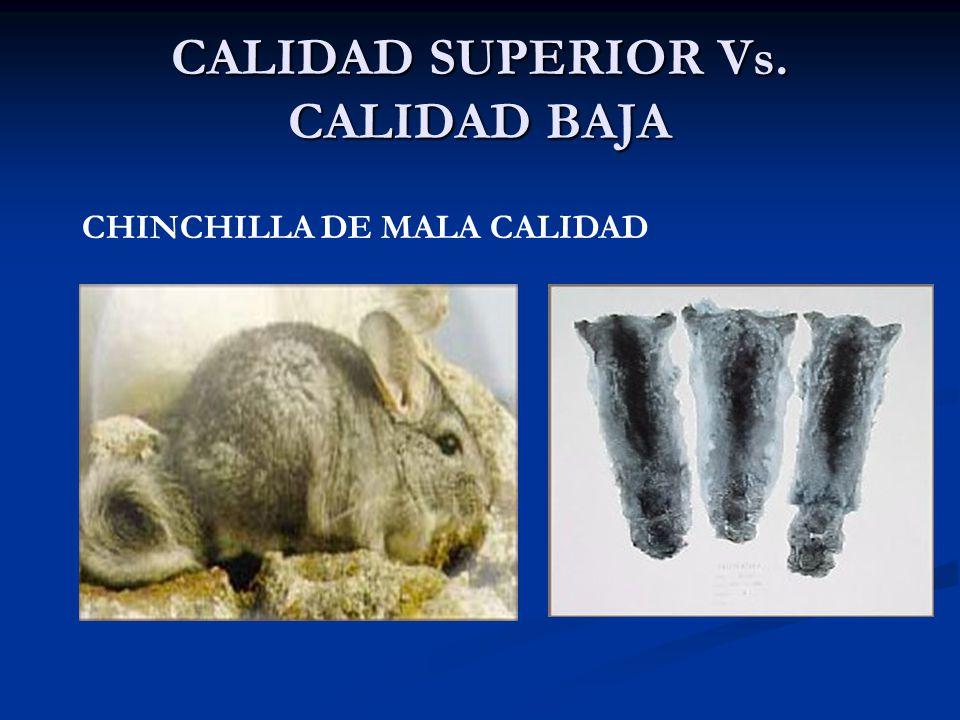 CALIDAD SUPERIOR Vs. CALIDAD BAJA CHINCHILLA DE MALA CALIDAD