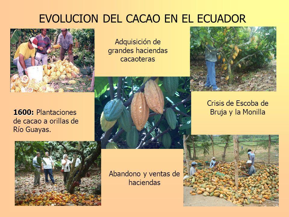 EVOLUCION DEL CACAO EN EL ECUADOR 1600: 1600: Plantaciones de cacao a orillas de Río Guayas. Adquisición de grandes haciendas cacaoteras Crisis de Esc
