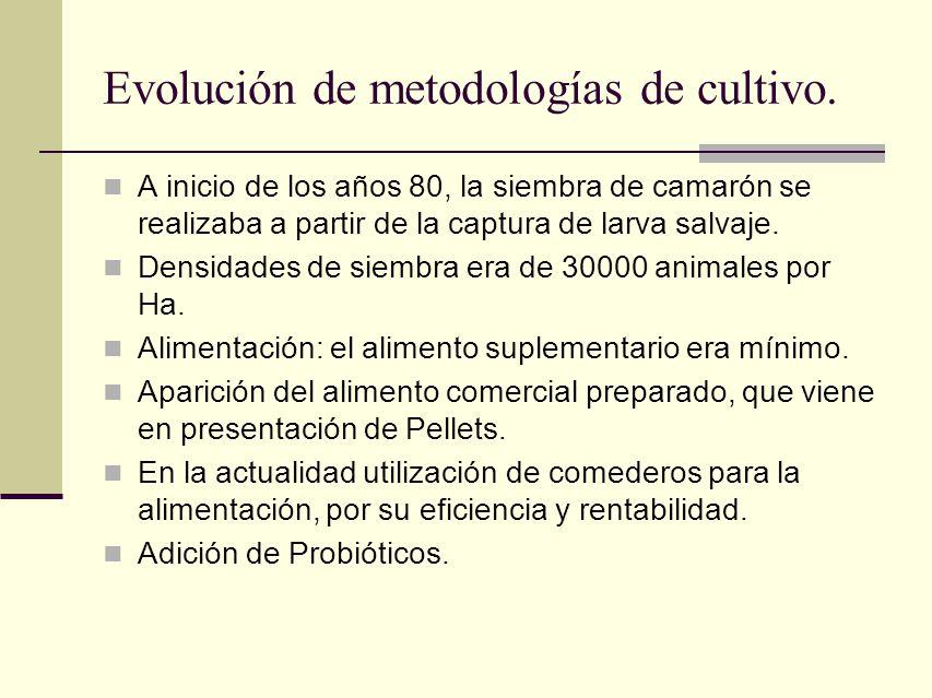 Evolución de metodologías de cultivo. A inicio de los años 80, la siembra de camarón se realizaba a partir de la captura de larva salvaje. Densidades