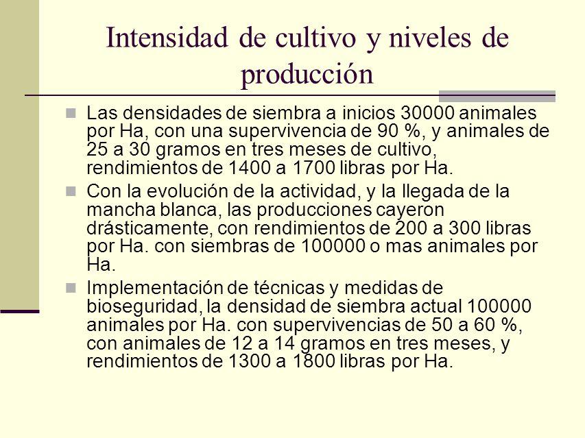Intensidad de cultivo y niveles de producción Las densidades de siembra a inicios 30000 animales por Ha, con una supervivencia de 90 %, y animales de