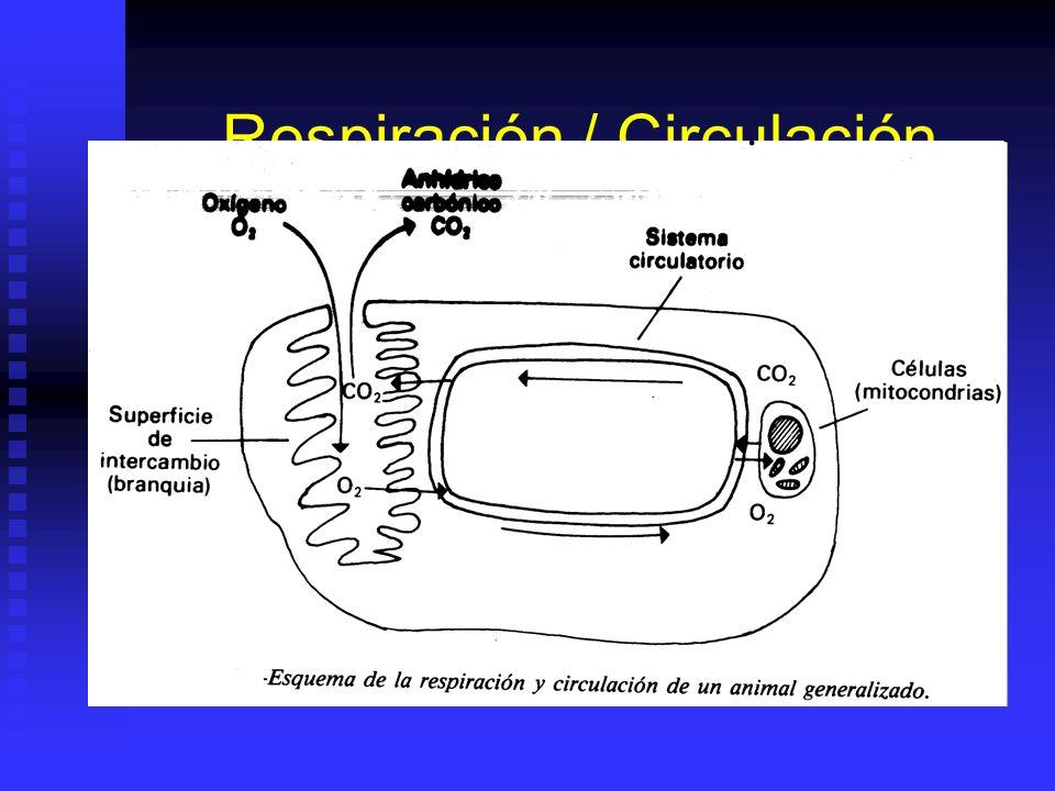 Musculos Y Locomoción Moluscos: Moluscos: Larva plantónica, adulto sésil bentónico. Larva plantónica, adulto sésil bentónico. Músculos en pie y abduct