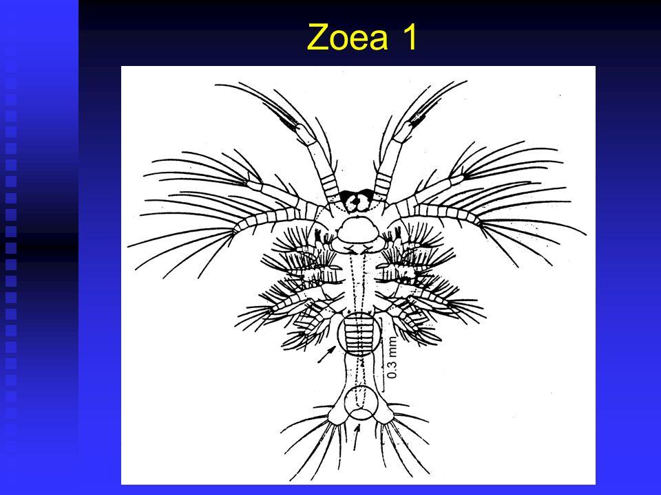 Zoea 1 Duración 40 horas (36 – 48) @28ºC. Duración 40 horas (36 – 48) @28ºC. Corresponde a Fase II de Cultivo. Corresponde a Fase II de Cultivo. Largo