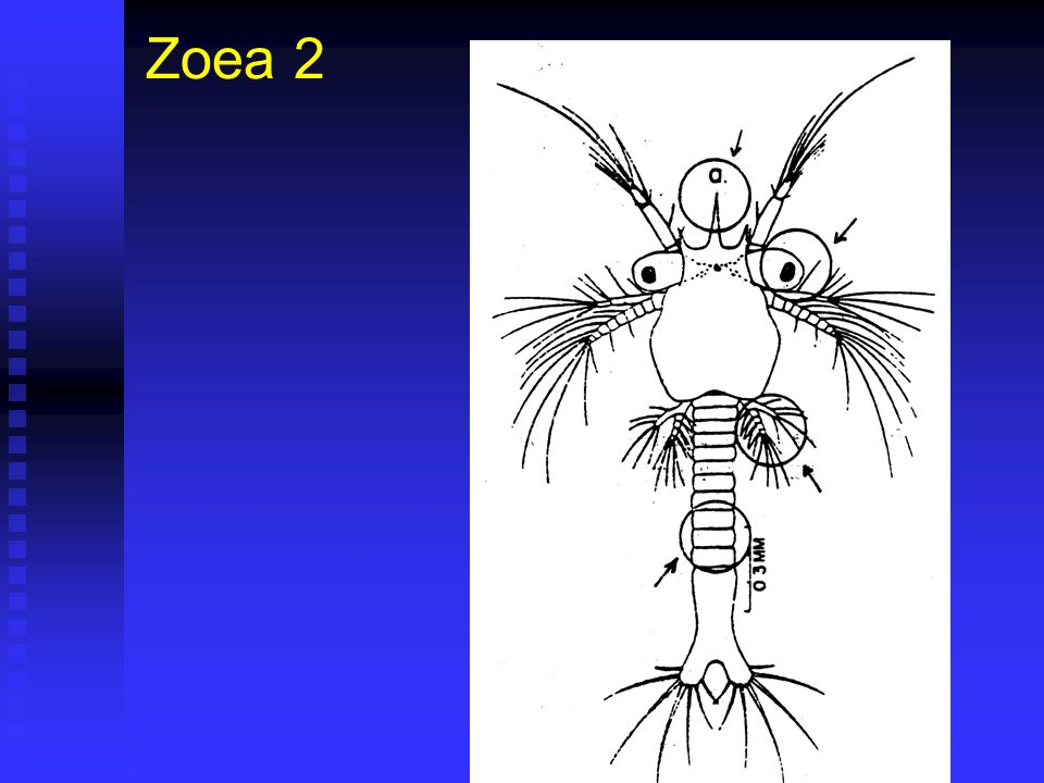 Zoea 2 Duración 40 horas (36 – 48) @28ºC. Duración 40 horas (36 – 48) @28ºC. Corresponde a Fase II de Cultivo. Corresponde a Fase II de Cultivo. Largo