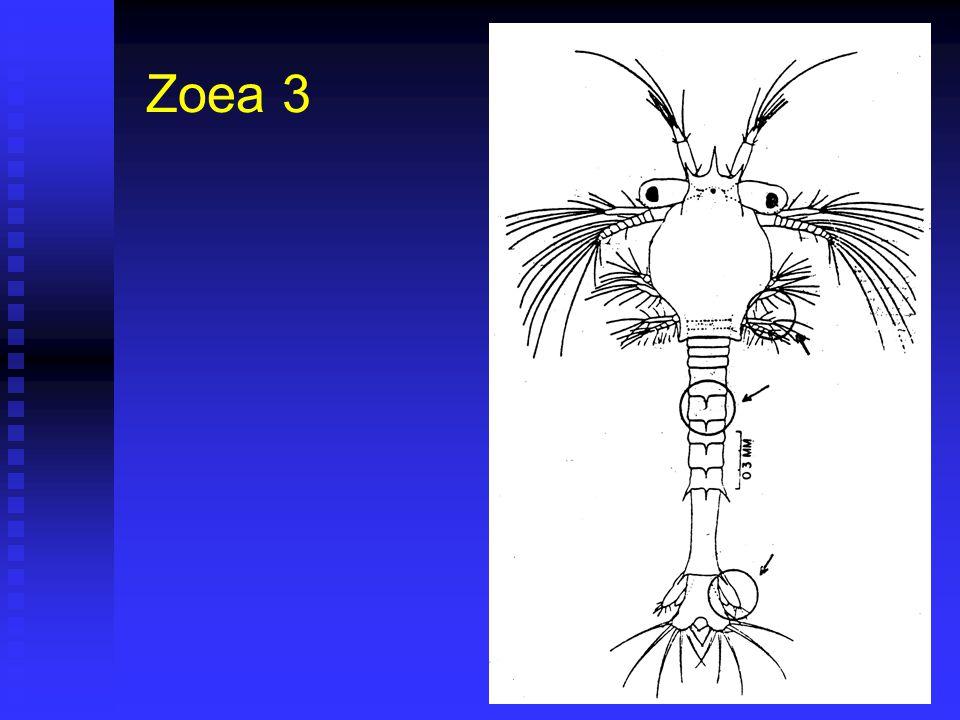 Zoea 3 Duración 40 horas (36 – 48) @28ºC. Duración 40 horas (36 – 48) @28ºC. Corresponde a Fase II de Cultivo. Corresponde a Fase II de Cultivo. Largo