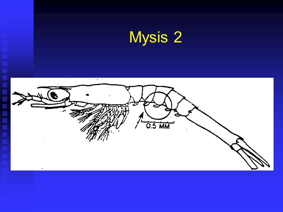 Mysis 2 Duración 28 horas (24 – 32) @28ºC. Duración 28 horas (24 – 32) @28ºC. Corresponde a Fase II de Cultivo. Corresponde a Fase II de Cultivo. Larg