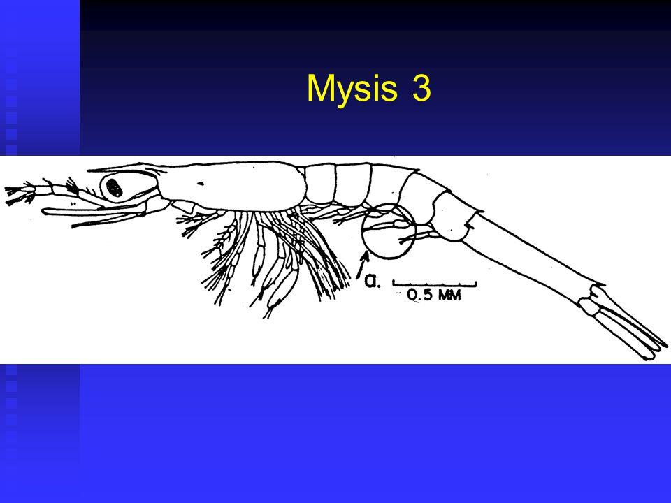 Mysis 3 Duración 28 horas (24 – 32) @28ºC. Duración 28 horas (24 – 32) @28ºC. Corresponde a Fase II de Cultivo. Corresponde a Fase II de Cultivo. Larg