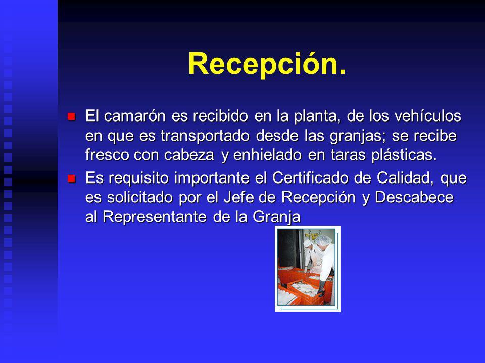 Recepción. El camarón es recibido en la planta, de los vehículos en que es transportado desde las granjas; se recibe fresco con cabeza y enhielado en