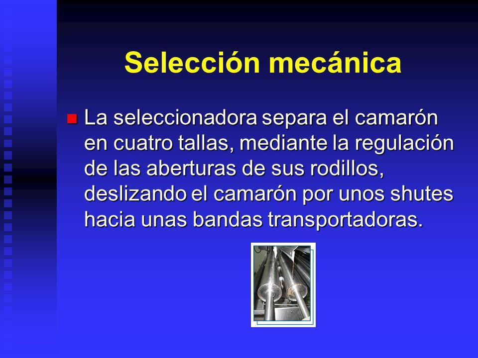 Selección mecánica La seleccionadora separa el camarón en cuatro tallas, mediante la regulación de las aberturas de sus rodillos, deslizando el camaró