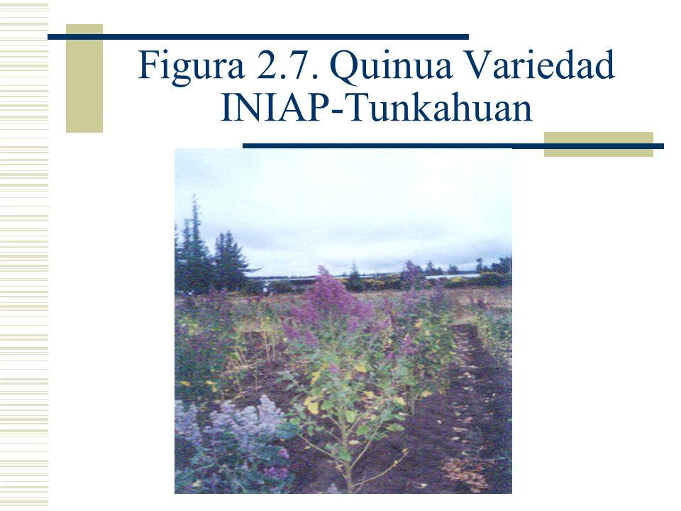 Figura 2.7. Quinua Variedad INIAP-Tunkahuan