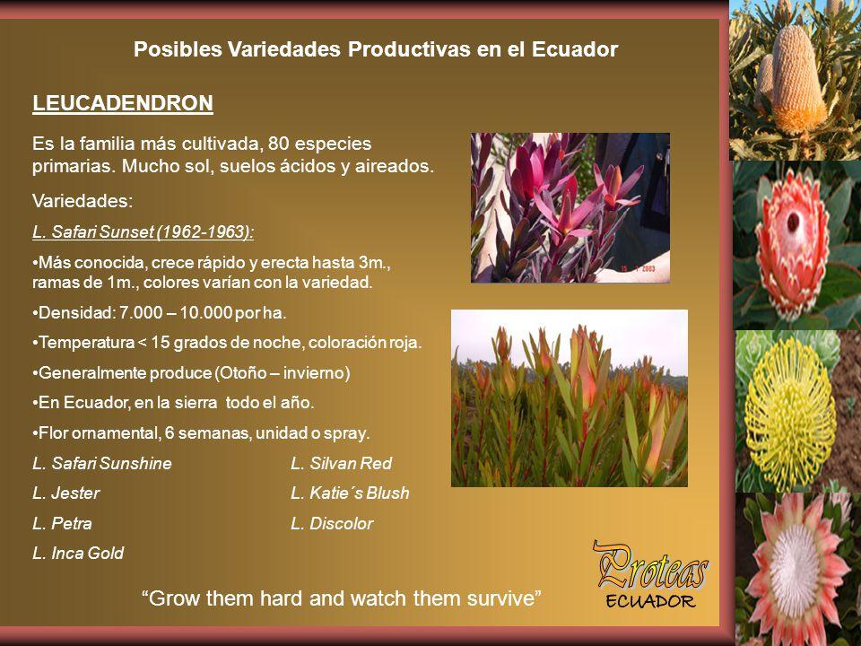Posibles Variedades Productivas en el Ecuador LEUCADENDRON Es la familia más cultivada, 80 especies primarias.
