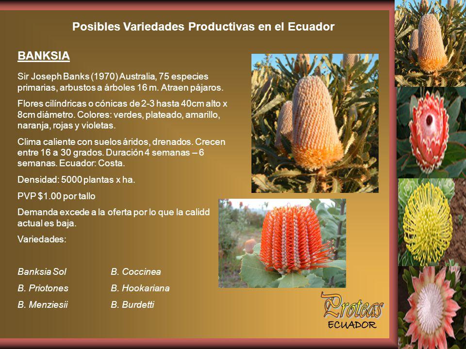 Posibles Variedades Productivas en el Ecuador BANKSIA Sir Joseph Banks (1970) Australia, 75 especies primarias, arbustos a árboles 16 m.