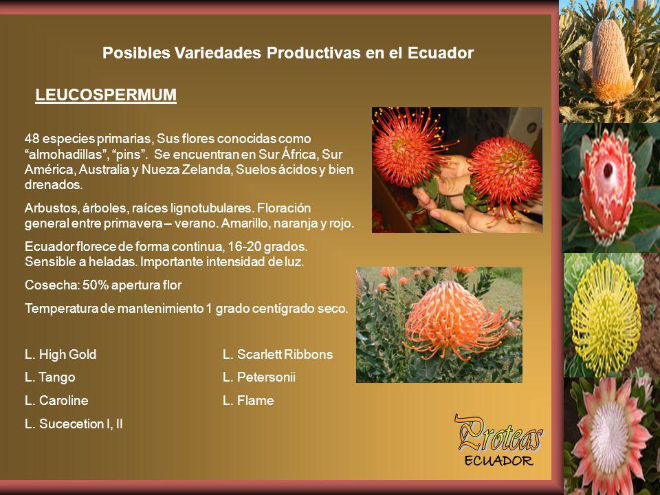 Posibles Variedades Productivas en el Ecuador LEUCOSPERMUM 48 especies primarias, Sus flores conocidas como almohadillas, pins.