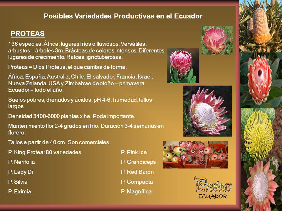 Posibles Variedades Productivas en el Ecuador PROTEAS 136 especies, África, lugares fríos o lluviosos.