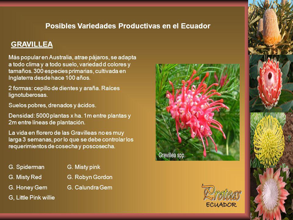 Posibles Variedades Productivas en el Ecuador GRAVILLEA Más popular en Australia, atrae pájaros, se adapta a todo clima y a todo suelo, variedad d colores y tamaños.