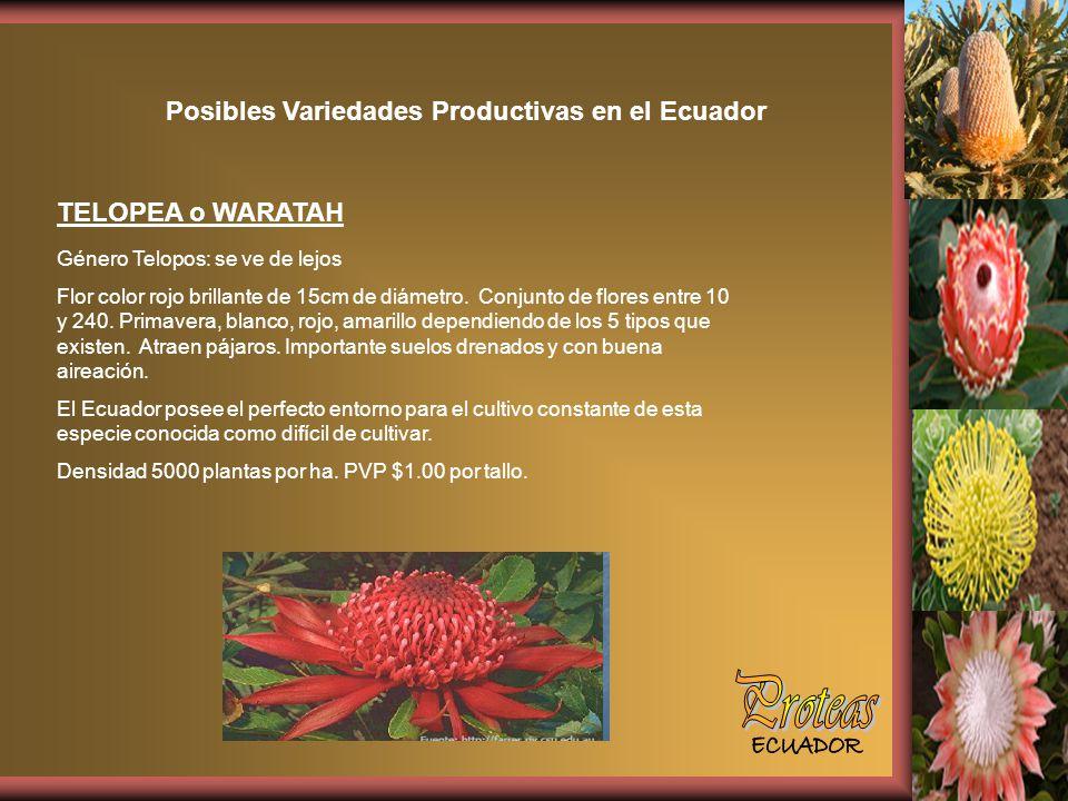 Posibles Variedades Productivas en el Ecuador TELOPEA o WARATAH Género Telopos: se ve de lejos Flor color rojo brillante de 15cm de diámetro.