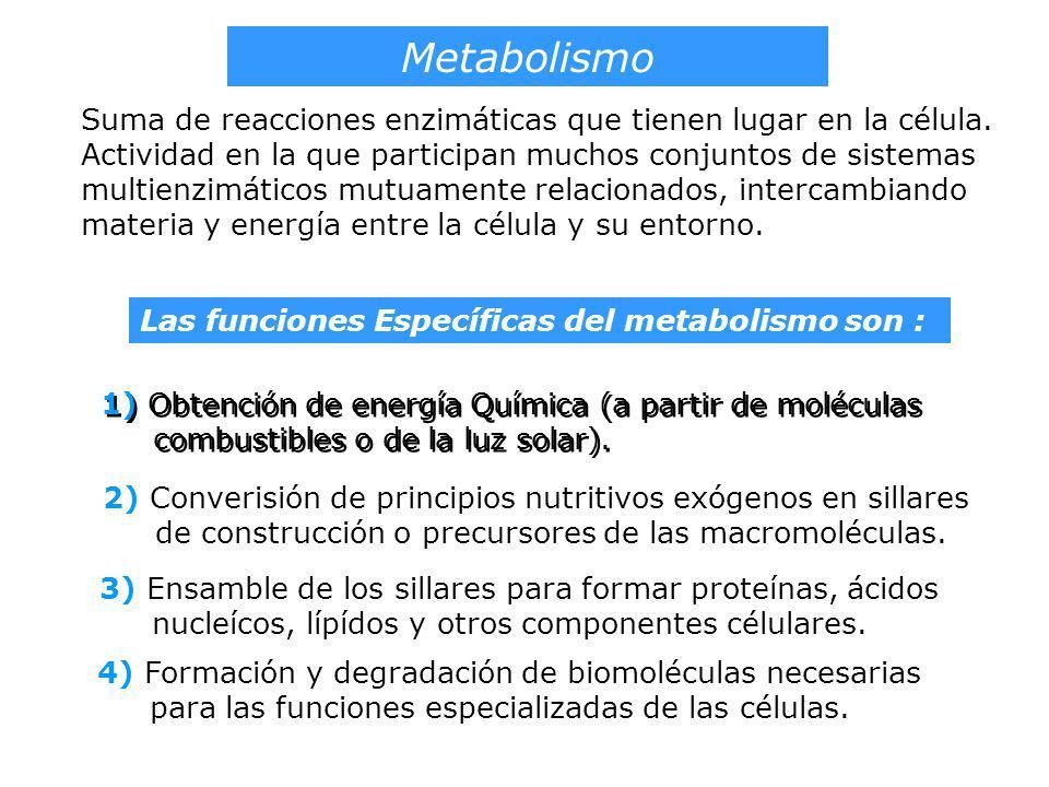 Metabolismo Suma de reacciones enzimáticas que tienen lugar en la célula. Actividad en la que participan muchos conjuntos de sistemas multienzimáticos