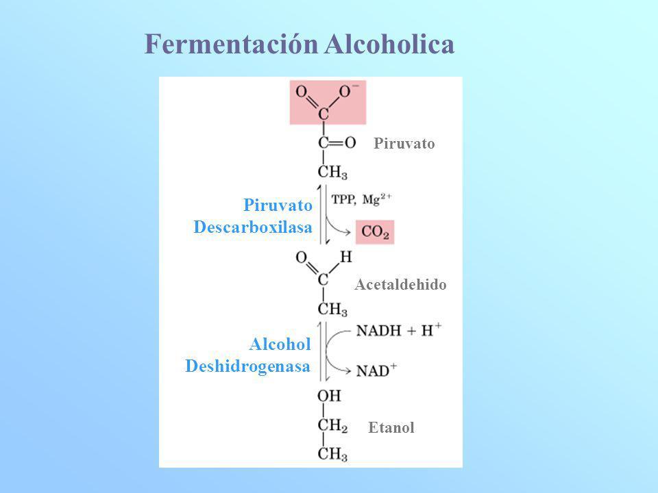 Piruvato Acetaldehido Etanol Piruvato Descarboxilasa Alcohol Deshidrogenasa Fermentación Alcoholica